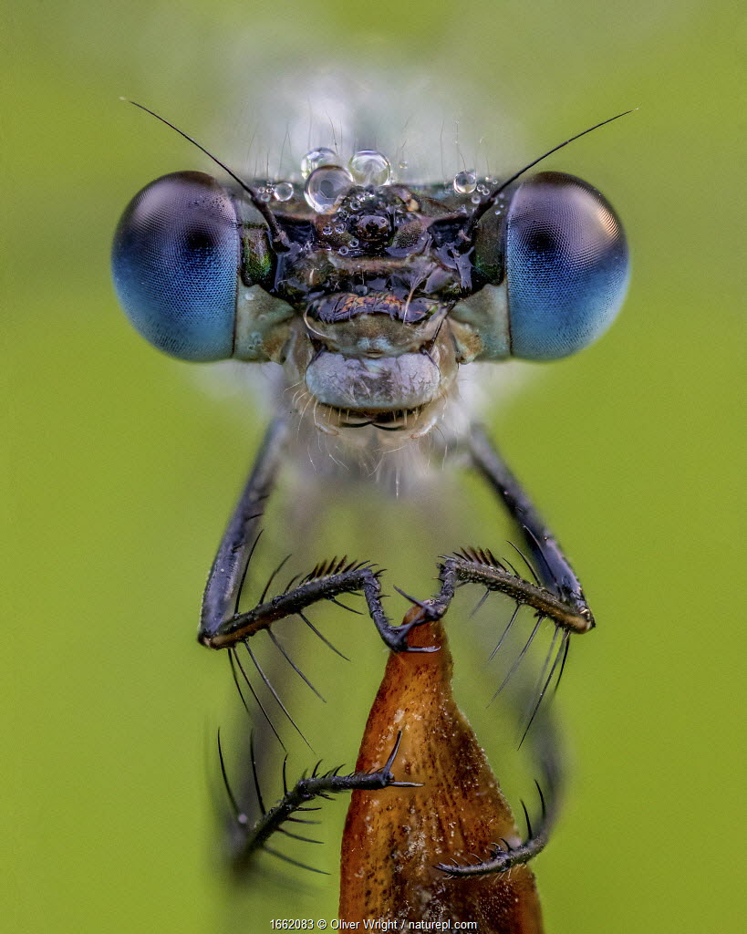 Portrait of a Emerald damselfly (Lestes sponsa) Yorkshire, August. Focus stacked image.