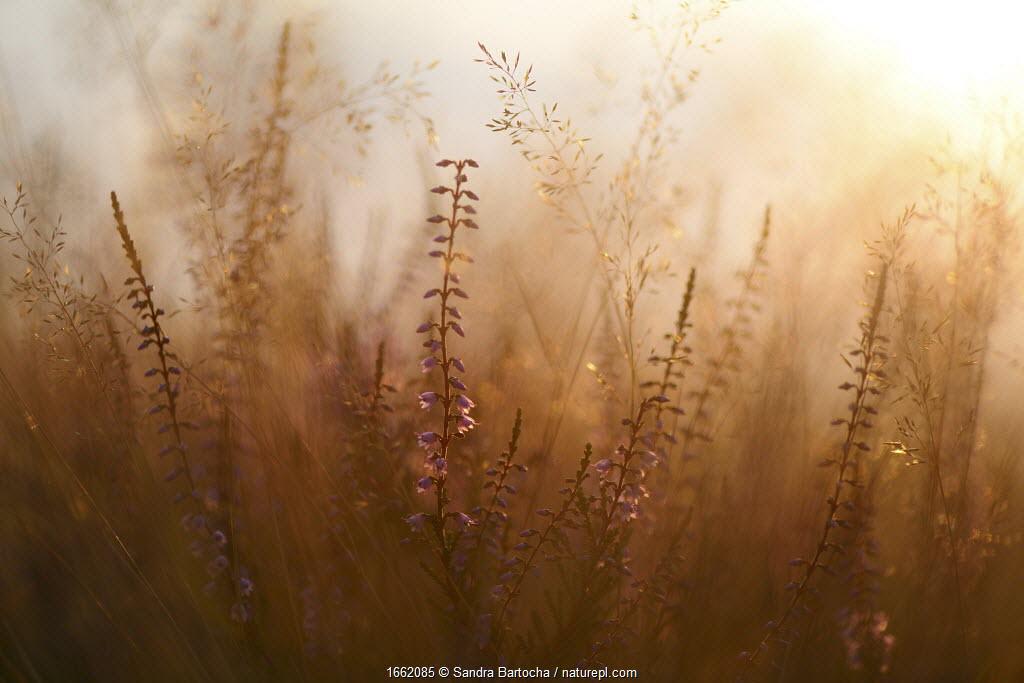 Heather (Calluna vulgaris) and grasses, Sudheide, Germany.