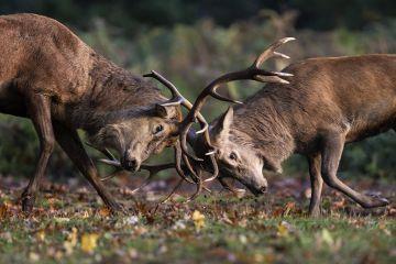 Red Deer (Cervus elaphus) stags fighting during the rutting season. Bushy Park, London, UK. October.