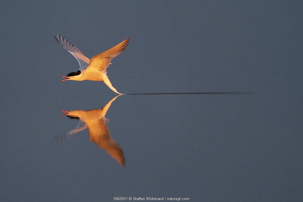 Arctic tern (Sterna paradisaea) flying low over water. Hjalstaviken, Uppland, Sweden.