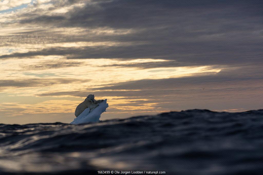 Polar bear (Ursus maritimus) on drifting ice floe. Svalbard, Norway.