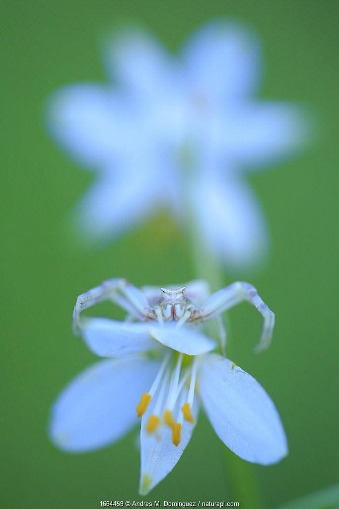 Crab spider (Thomisus onustus) on white flowerhead, Sierra de Grazalema Natural Park, southern Spain, May.