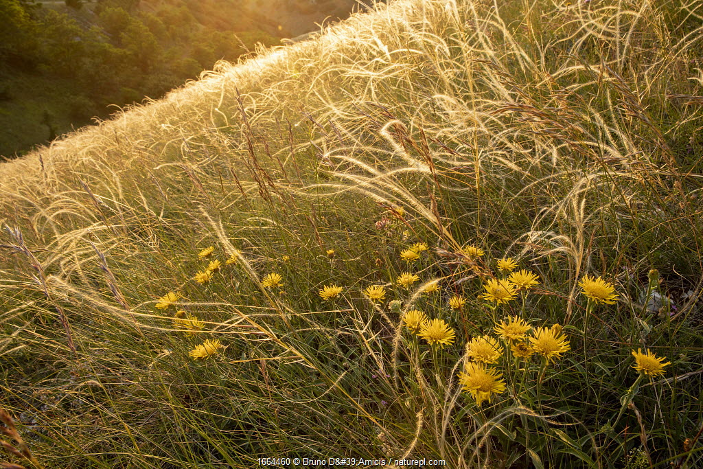 Pyrenean fleabane (Inula montana) flowering among Feather grass (Stipa pennata), Central Apennines, Italy.