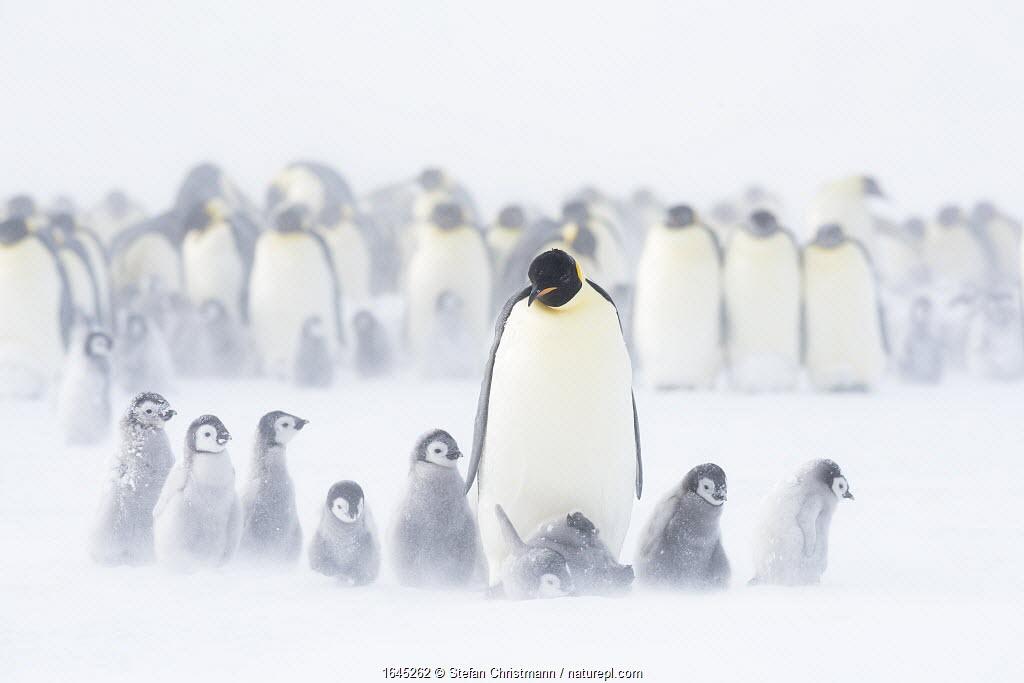 Emperor penguins (Aptenodytes fosteri) colony with chicks, age 9-12 weeks, Antarctica. Bookplate.