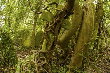 Tombstone being strangled by ivy in Arnos Vale Cemetery, now disused, overgrown and a refuge for nature. Bristol, England, UK, June 2019