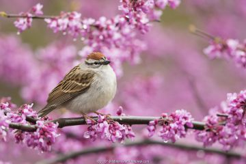 Chipping sparrow (Spizella passerina), adult perched in flowering eastern redbud in spring, New York, USA, May.