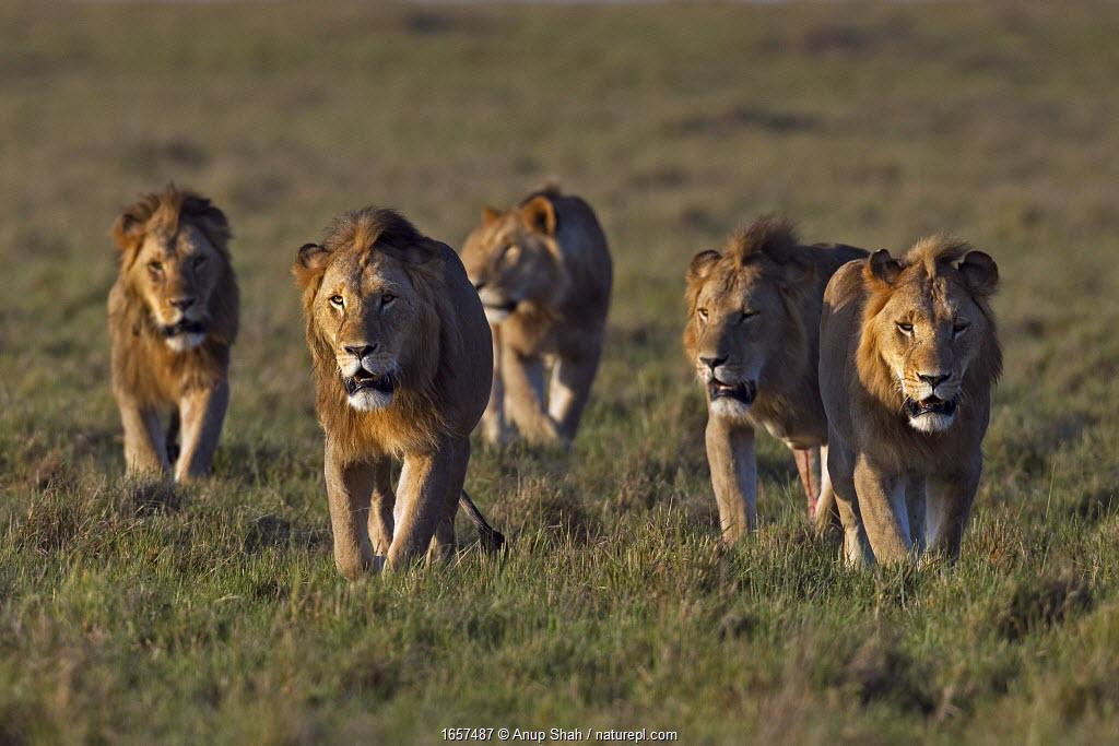 Lion (Panthera leo) males walking together . Masai Mara National Reserve, Kenya.