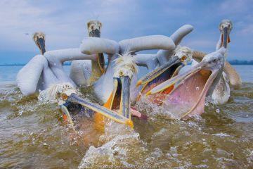Dalmatian pelicans (Pelecanus crispus) squabbling over fish, Lake Kerkini, Greece. March.