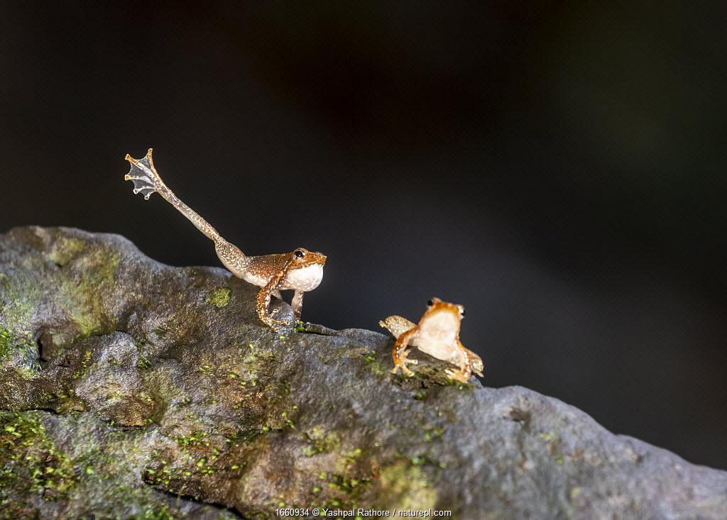 Kottigehar dancing frog (Micrixalus kottigeharensis), male waving foot and calling , territorial behaviour. Agumbe, Western Ghats, India. Endemic.