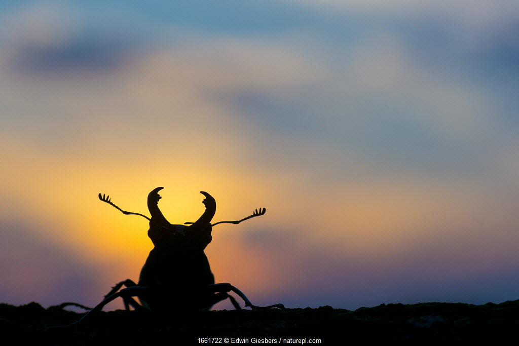 Stag beetle (Lucanus cervus) silhouetted at sunset. The Netherlands. August.
