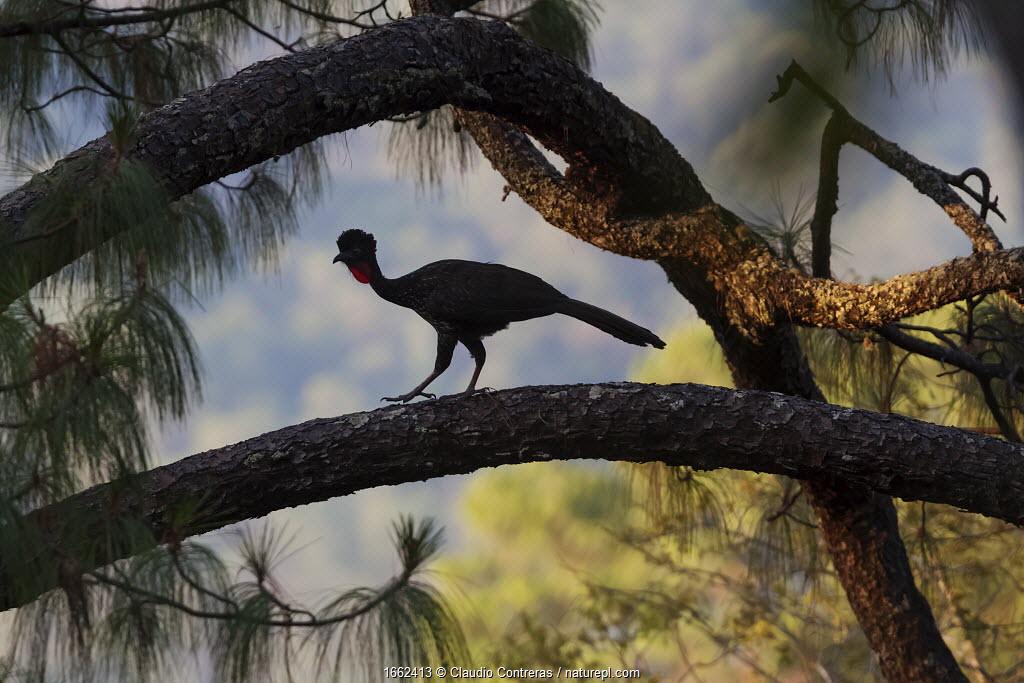 Crested guan (Penelope purpurascens), Finca Arroyo Negro, El Triunfo Biosphere Reserve, Chiapas, southern Mexico, April