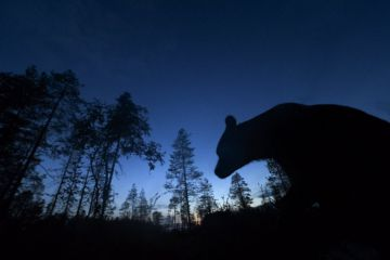 Brown bear (Ursus arctos) silhouetted in forest at night. Finland. August.