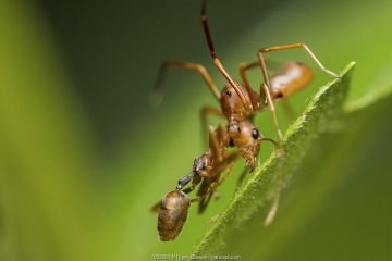 Ant-mimicking crab spider (Amyciaea lineatipes) predating a weaver ant (Oecophylla smaragdina) . Ant-mimicking crab spiders live around ant colonies. Buxa tiger reserve, India.
