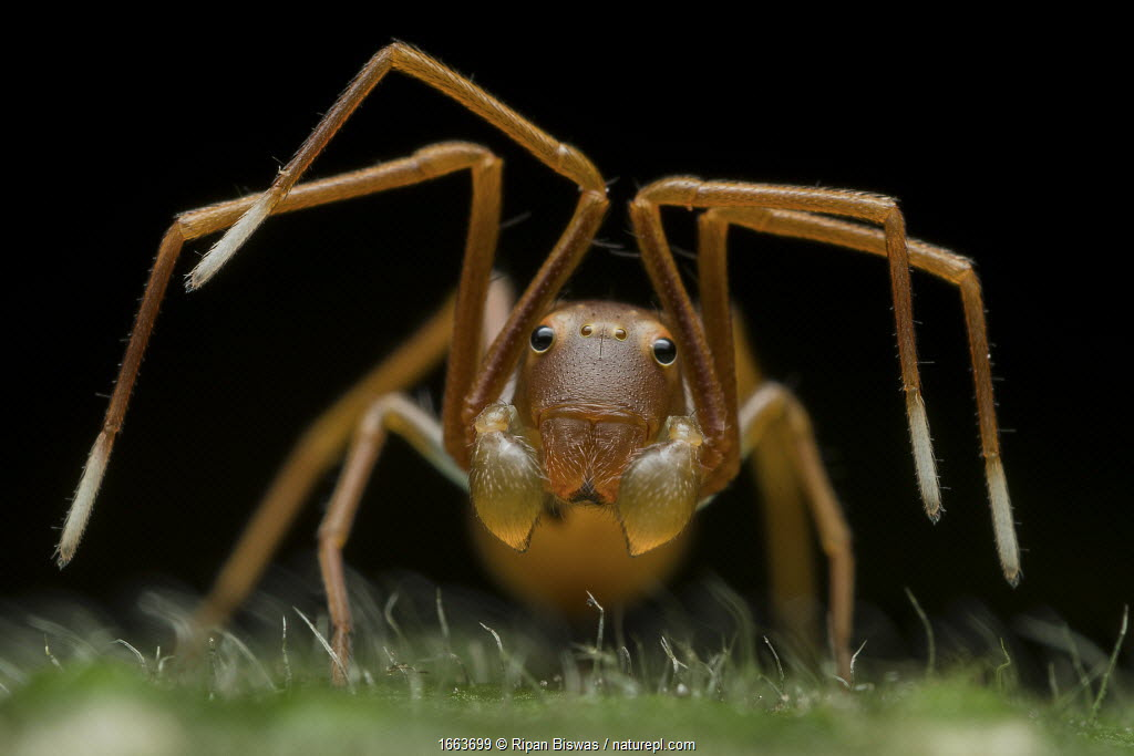 Portrait of an ant-mimicking crab spider. (Amyciaea sp) raising its legs to warn the photographer. Buxa tiger reserve, India.