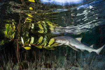 Lemon shark juvenile (Negaprion brevirostris) trying to feed on the leaves of a red mangrove (Rhizophora mangle). As pups, the sharks have to learn to hunt for themselves and sometimes make mistakes. Plant matter is indigestible and the sharks soon spit it out. Eleuthera, Bahamas.