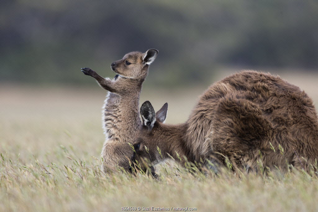 Western grey kangaroo (Macropus fuliginosus) joey standing on hind legs whilst stretching, with mother. Kangaroo Island, South Australia.