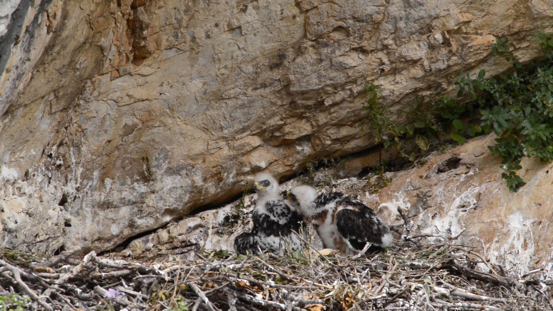 Two Bonelli's eagle (Aquila fasciata) chicks in the nest, pecking each other, Andalusia, Spain, June.