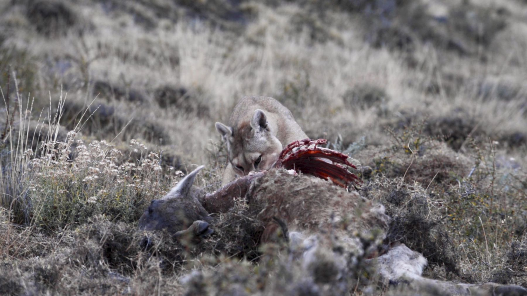 Female Patagonian puma (Puma concolor patagonia) feeding on a Guanaco (Lama guanacoe) carcass, Torres del Paine National Park, Patagonia, Chile, July.