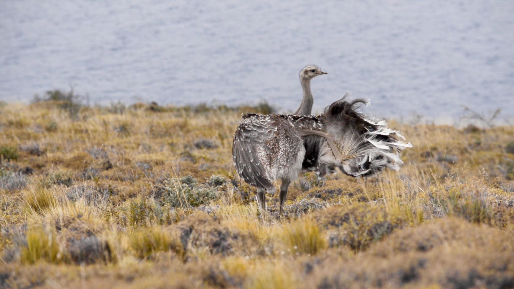 Darwin's rhea (Rhea pennata) preening its wing feathers, Torres del Paine National Park, Chile, July.