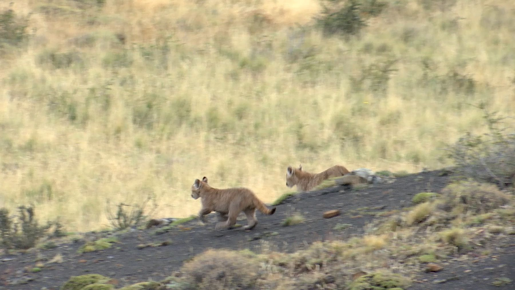 Two Patagonian puma cubs (Puma concolor patagonica) playing, Torres del Paine National Park, Chile, April.
