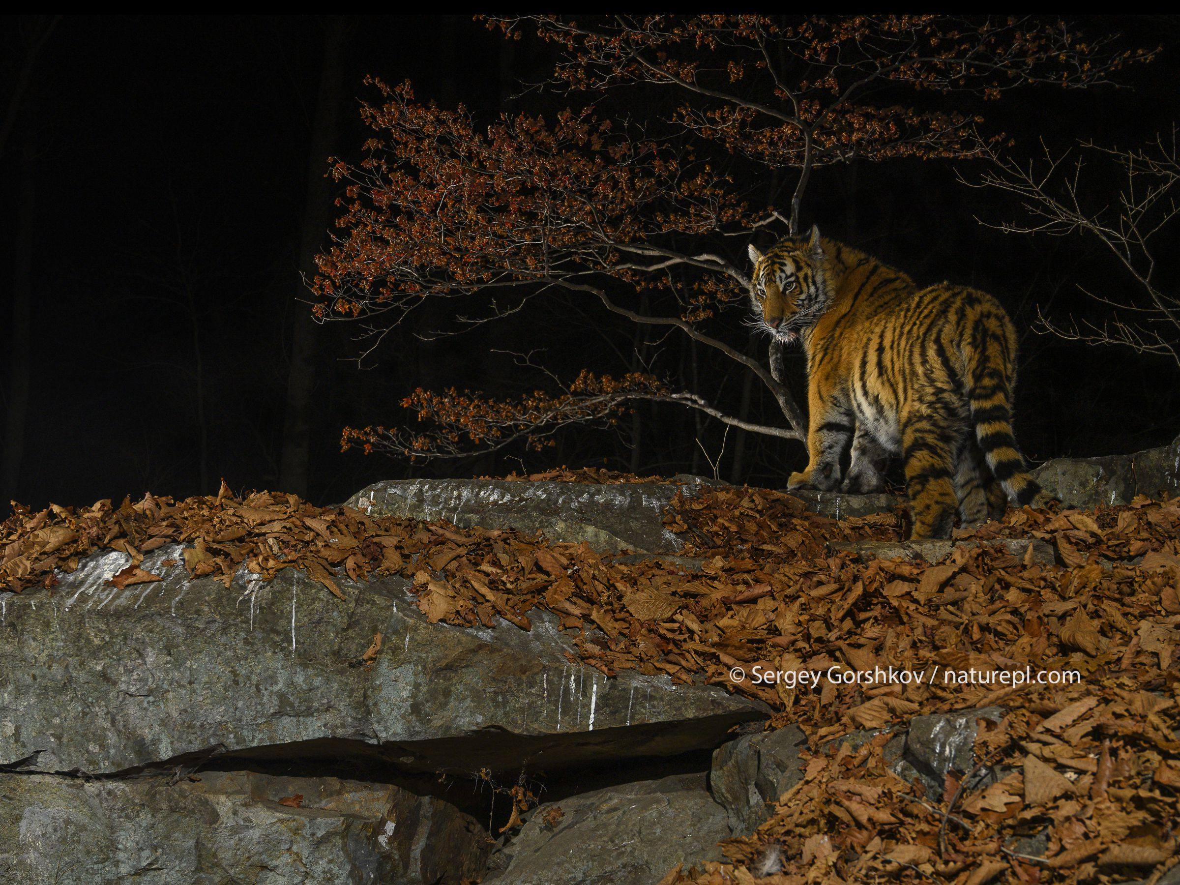 Siberian tiger (Panthera tigris altaica) at night, taken with remote camera in Land of the Leopard National Park, Far East Russia, November.Highly Commended in the Animal Portraits Category of the Wildlife Photographer of the Year Awards (WPOY) 2020