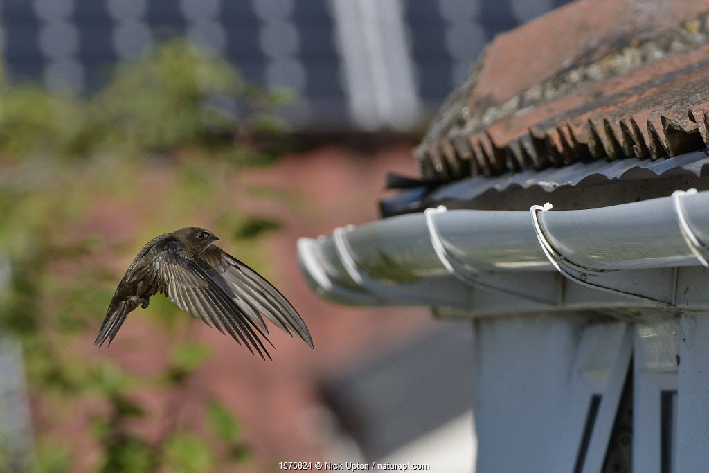 Common swift (Apus apus) flying to its nest site under roof tiles on an old cottage, Hilperton, Wiltshire, UK, July. Winner of Conservation Documentary Award in Bird Photographer of the Year competition 2020.