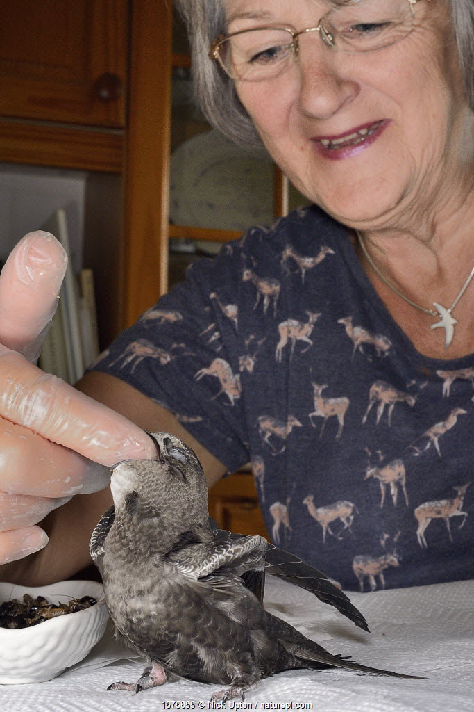 Judith Wakelam hand-feeding an orphaned Common swift chick (Apus apus) with insect food in her home, Worlington, Suffolk, UK, July. Model released. Winner of Conservation Documentary Award in Bird Photographer of the Year competition 2020.