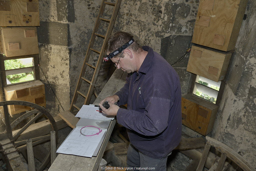 Simon Evans ringing a Common swift chick (Apus apus) removed briefly from a nest box in All Saints Church belfry with over 40 swift nestboxes, Worlington, Suffolk, UK, July. Model released. Winner of Conservation Documentary Award in Bird Photographer of the Year competition 2020.