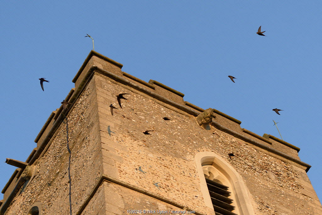 Screaming party of Common swifts (Apus apus) flying around a church bell tower at dusk, where a large colony breeds in nestboxes behind the window louvres, All Saints Church, Worlington, Suffolk, UK, July. Winner of Conservation Documentary Award in Bird Photographer of the Year competition 2020.