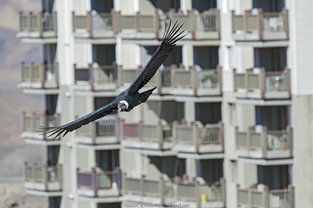Andean condor, (Vultur gryphus) in flight, Farellones, Chile. Highly commended in Bird Photographer of the Year competition 2020.
