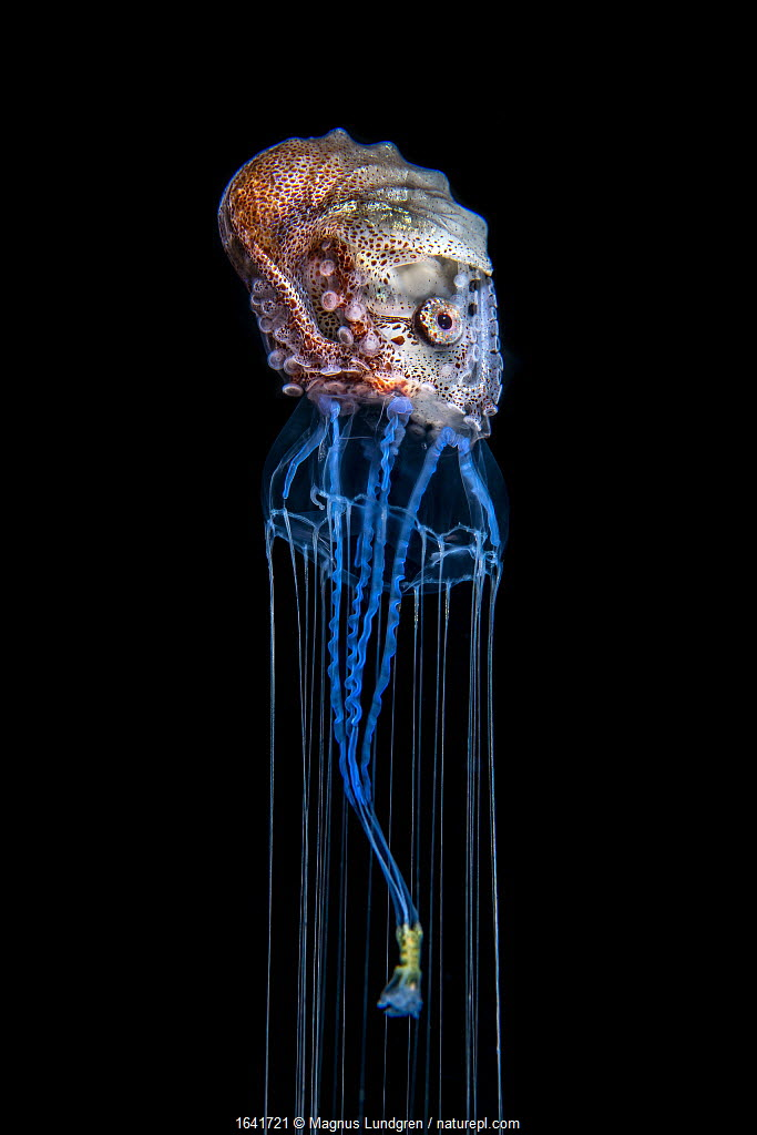 Brown paper nautilus (Argonauta hians) surfing on a jellyfish, Balayan Bay, Luzon, Philippines. The nautilus uses its jellyfish host both as a food source, and as a defensive weapon. Photographed at night. Minimum fees apply. Runner-up in Underwater Worlds category of GDT European Wildlife Photographer of the Year competition 2020.
