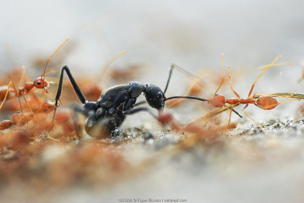A group of weaver ants (Oecophylla smaragdina) attacking a solitary Indian queenless ant (Diacamma sp) Buxa tiger reserve, India. Winning Portfolio of the Wildlife Photographer of the Year Awards (WPOY) 2020