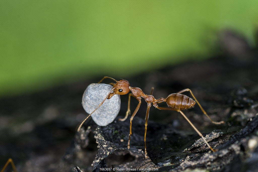 A weaver ant (Oecophylla smaragdina) carrying a small stone to their nest. Scientists are not sure why they do this. Buxa tiger reserve, India. Winning Portfolio of the Wildlife Photographer of the Year Awards (WPOY) 2020
