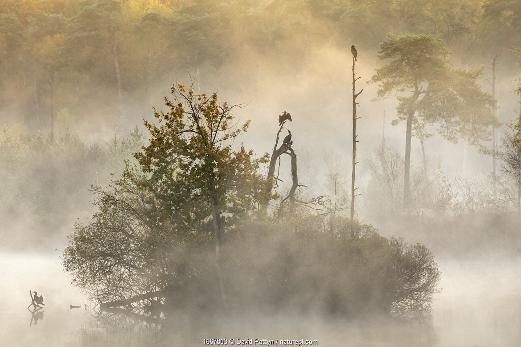 Cormorants (Phalacrocorax carbo) in early morning mist, Oisterwijkse Bossen en Vennen nature reserve, Netherlands, November. Runner-up in 'De Lage Lande' (animals in landscape) category of Nature Photographer of the Year competition 2020.
