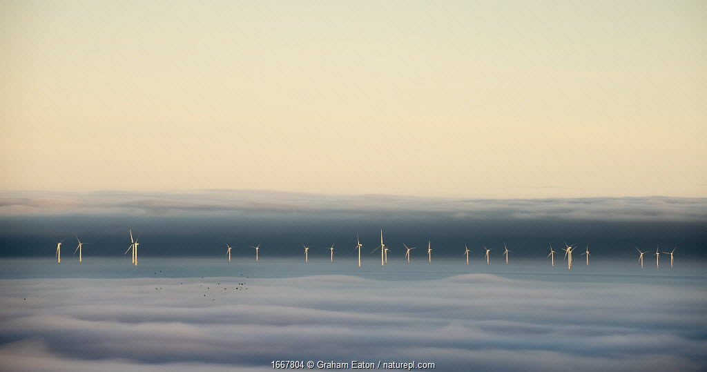 Hoyle Bank Windfarm in fog, with a flock of migrating birds, viewed from near Holywell, Flintsire, Wales, December. Winner of Changing Landscapes category of Landscape Photographer of the Year competition 2020.