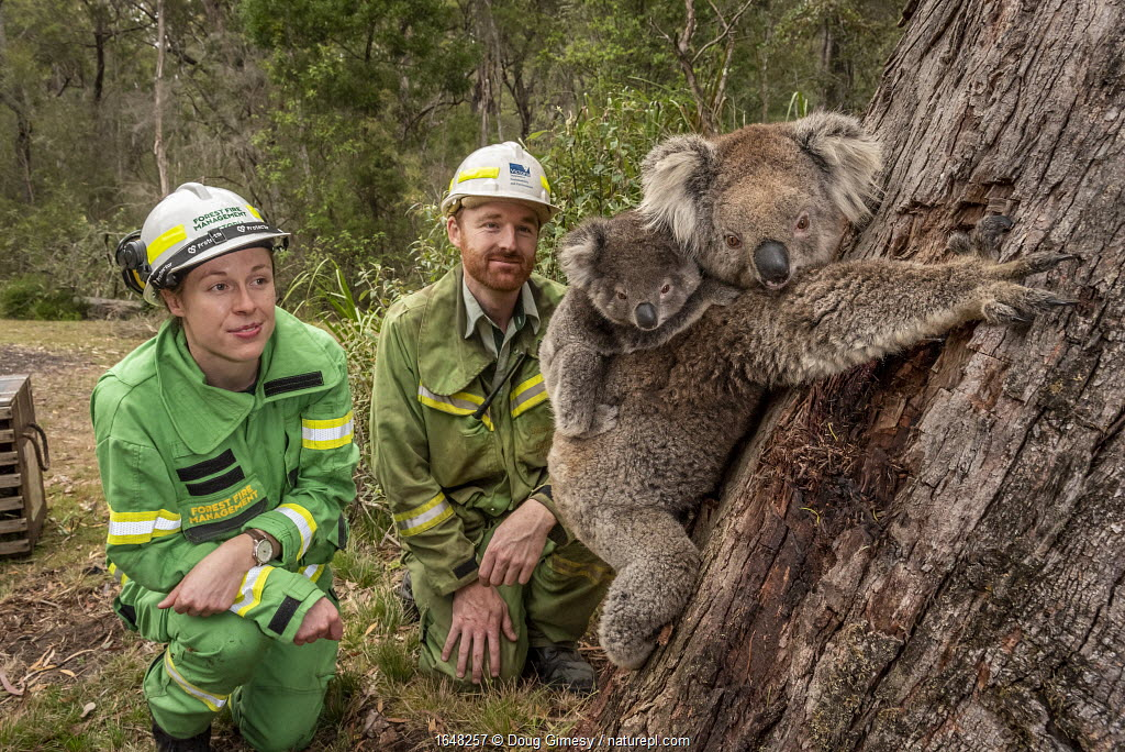 Forest and Wildlife officers Lachlan Clarke (right) an Emily Cordy watch on as a mother koala (Phascolarctos cinereus) and her joey are released.