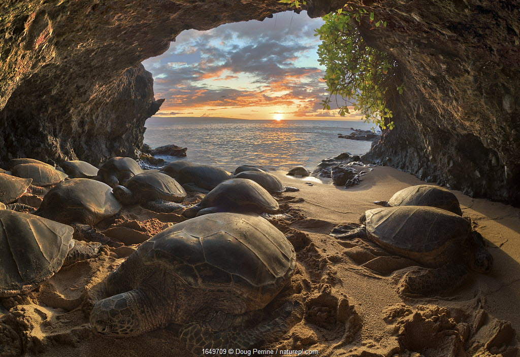 Hawaiian green sea turtles (Chelonia mydas) crowding into a small seaside cavern to bask at sunset. Resting on shore is a behaviour that is very rare for sea turtles, except in Hawaii and the Galapagos Islands. Hawaii, USA.