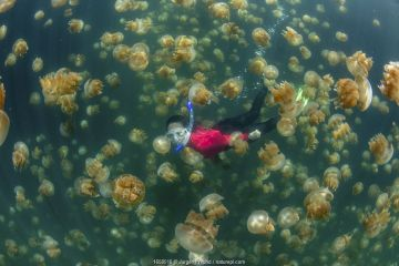 Snorkler amongst Golden jellyfish (Mastigias papua etpisoni) in marine lake. Millions of the jellyfish migrate horizontally across the lake daily. Subspecies evolved separately from species in nearby lagoons. Jellyfish Lake, Eil Malk Island, Rock Islands, Palau. 2020.