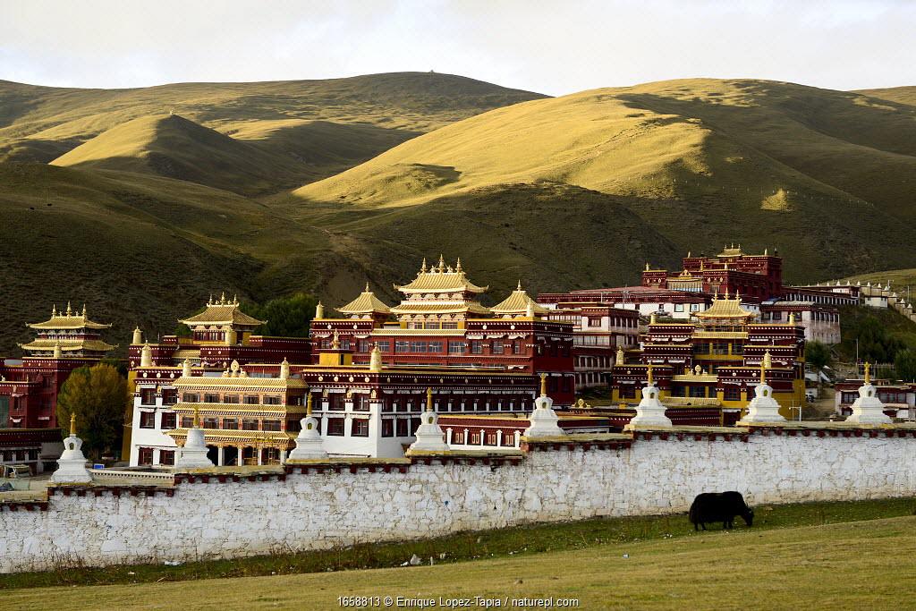 Yak (Bos grunniens) grazing beside wall of Ganden Thubchen Choekhorling Monastery, mountains in background. Litang, Garze Tibetan Autonomous Prefecture, Sichuan, China