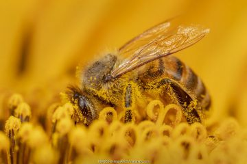 Honey bee (Apis mellifera) covered in pollen, collecting from a sunflower, Germany.