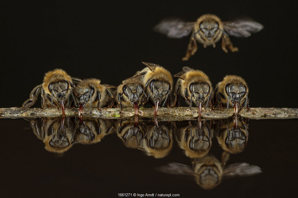 Honey bees (Apis mellifera), drinking water on hot summer day, Germany