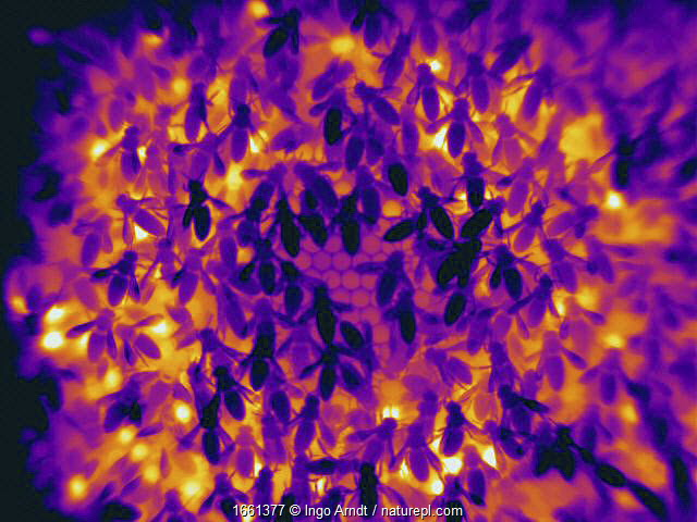 Thermal imaging of Honey bee (Apis mellifera) brood comb. Cooler parts appear darker, warmer parts appear bright in colour. Very bright spots showing worker bees heating brood cells with the help of their flight muscles, Germany