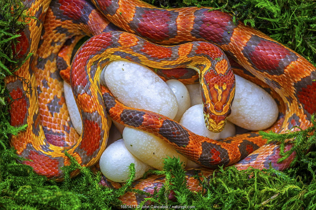 Corn snake (Pantherophis guttatus), female with recently laid eggs, captive, native to Eastern United States