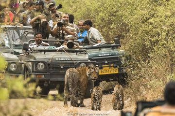 Large group of tourists and photographers taking pictures of Bengal tiger (Panthera tigris tigris) female with two cubs on dirt track, Ranthambore National Park, Rajasthan, India.