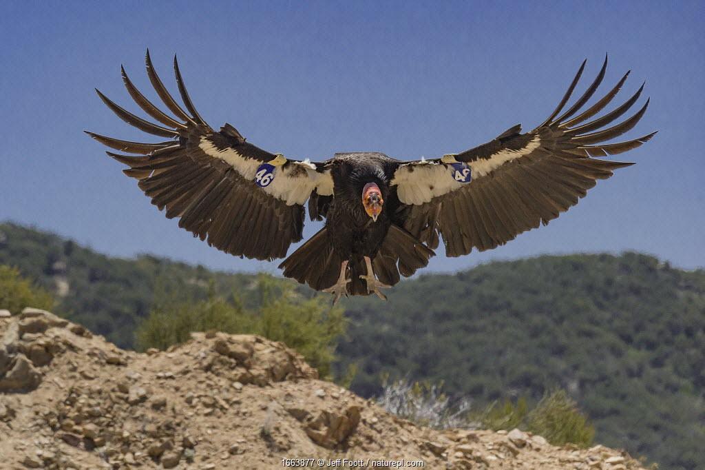 California condor (Gymnogyps californianus) landing, forest in background. Bird with tags on wings. Near San Pedro Martir National Park, Northern Baja California, Mexico. 2017.