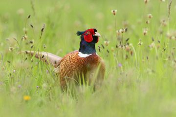 Ring-necked pheasant (Phasianus colchicus) cock in wild flower meadow. Suffolk, UK. May.