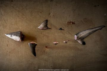 Parts of a Spottail shark (Carcharhinus sorrah) with missing body arranged on a metal table. Symbolising the declines of these marine predators from the world's oceans from various threats that they are facing, Ranong Province, Thailand.