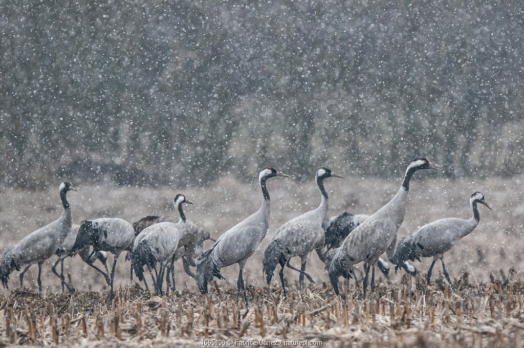 Common crane (Grus grus) flock feeding in field in snow, Champagne, France, February.
