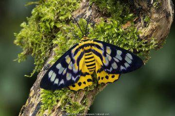 False tiger moth (Dysphania militaris) Isle of Marinduque, Philipines
