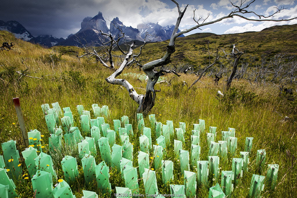 Reforestation of an area destroyed by bush fires, tree guards protecting saplings, mountains in background. Torres del Paine National Park, Patagonia, Chile. January 2020.